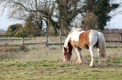 Häst i fält Royaltyfria Bilder