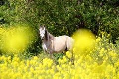 Häst i fält av blommor Arkivbilder