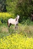 Häst i fält av blommor Arkivfoton