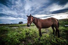 Häst i fältet Royaltyfri Bild