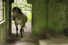 Häst i gammal byggnad Arkivbilder