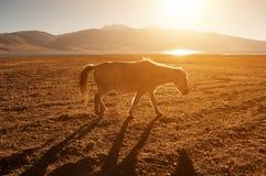 Häst i guld- soluppgång Royaltyfria Foton