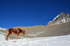 Häst i Himalaya berg i Nepal fotografering för bildbyråer