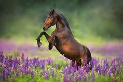 Häst i lupinblommor fotografering för bildbyråer