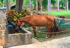 Häst i Mexico som har en drink av vatten Royaltyfria Bilder