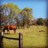 Häst i naturen Fotografering för Bildbyråer