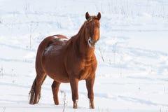 Häst i snön Royaltyfri Foto