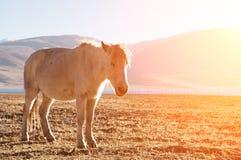 Häst i soluppgång Arkivbild