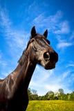 Häst i sommar Julian Bound Royaltyfri Foto