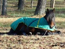 Häst i sova för filt Arkivbilder