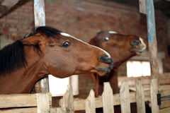 Häst i stablen Arkivbild