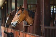 Häst i stablen Royaltyfri Foto