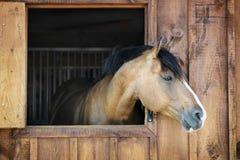 Häst i stall Arkivbild