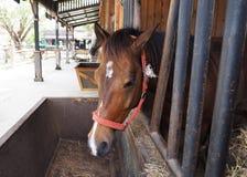 Häst i stallen arkivfoton