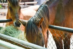 Häst i stallen royaltyfria foton