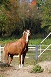 Häst i stallen Arkivbild
