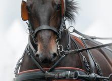 Häst i vagnsamunition Royaltyfria Bilder