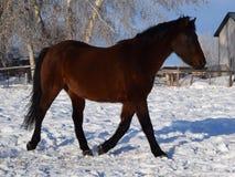 Häst i vinter Fotografering för Bildbyråer