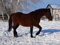 Häst i vinter Arkivfoto