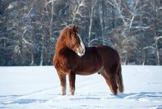 Häst i vinter Arkivfoton