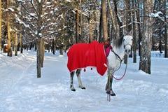 Häst i vinterskog Arkivfoto