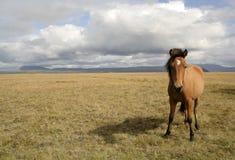 häst iceland royaltyfria foton