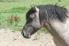 häst iceland Royaltyfri Bild