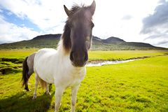 häst iceland Arkivbilder