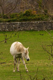 Häst inom staketet Royaltyfria Foton