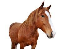 häst isolerad white Arkivfoton