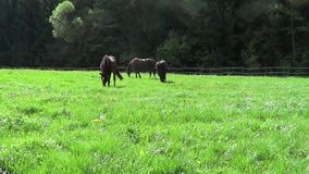 Häst körd fri galopp på paddock lager videofilmer