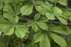 Häst-kastanj (aesculushippocastanum) som hemsökas med larver för häst-kastanj bladgruvarbetare (den Cameraria ohridellaen) Royaltyfri Foto