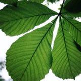 Häst-kastanj eller blad för Conkerträd (Aesculushippocastanum) Arkivfoton