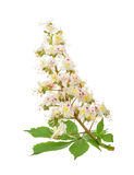 Häst-kastanjen (Aesculushippocastanum, Conkerträd) blommar iso Royaltyfri Foto