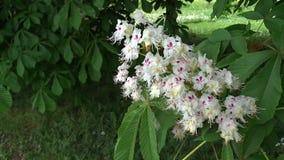 Häst-kastanjen blommar Aesculushippocastanumen, conkerträd lager videofilmer