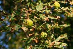 Häst-kastanjer frukt på trädfilial royaltyfri bild