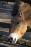 Häst Lantgård Huvudet av en häst med en man Arkivbild
