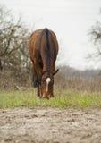 häst med den vita eldsvådan som äter gräs på sanden jpg Arkivfoton