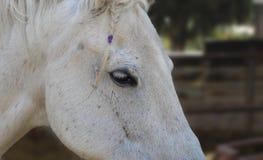 Häst med en flätad tråd Arkivfoton
