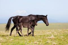 Häst med ett föl Arkivfoto