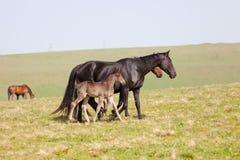 Häst med ett föl Royaltyfri Fotografi