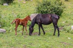 Häst med ett föl Arkivbilder