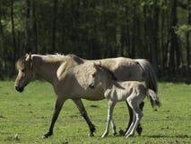 Häst med fölet Arkivbild