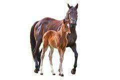 Häst med fölet Royaltyfri Fotografi