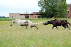 Häst med fölgalopp över fältet Royaltyfri Fotografi