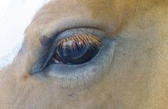 Häst med flugor som pinar honom arkivbild