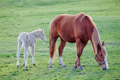 Häst med hennes föl som betar i fältet Arkivbilder
