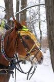 Häst med tygeln på vinterdag Arkivbild
