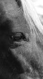 Häst med vit man Arkivfoton