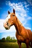 Häst metad kroppstående med blåa himlar Arkivfoton